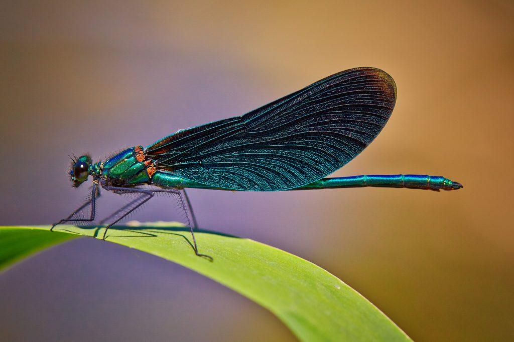 Insekten Prachtlibelle