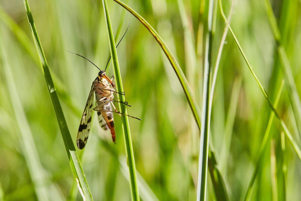 Insekten Skorpionsfliege