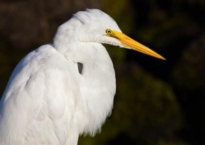 Vögel Silberreiher